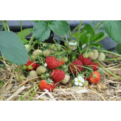 JORDGUBBE FRAMBERRY 1-PACK