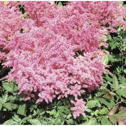 ASTILBE 'DRUM AND BASE' 1-PACK