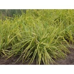 GULDKAVLE gräs 1-PACK