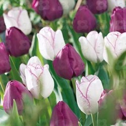 Lovely Match Tulpan 'Purple Rain' 18-p (slut för året)