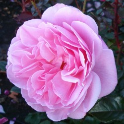 OUR LAST SUMMER Roses Forever 1-PACK