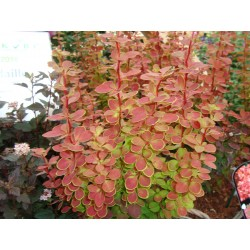 BERBERIS 'ORANGE SUNRISE' 1-PACK