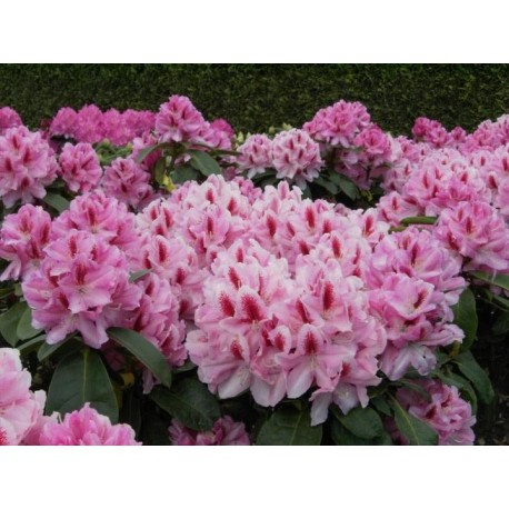 Rhododendron 'FURNIVALL'S DAUGHTER' 1-PACK