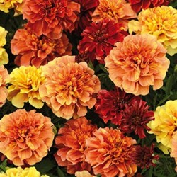 Tagetes 'Strawberry Blond' frö 1-pack