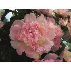 LUKTPION 'Raspberry Sundae' 1-P (Slut för året)