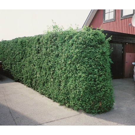 THUJA 'BRABANT' häck/busk 80-100 cm