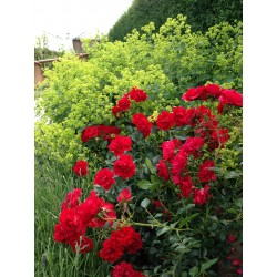 LADY IN RED Roses Forever 1-PACK