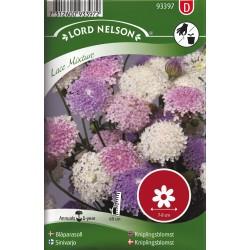 Blåparasoll, Lace mixture frö 1-pack