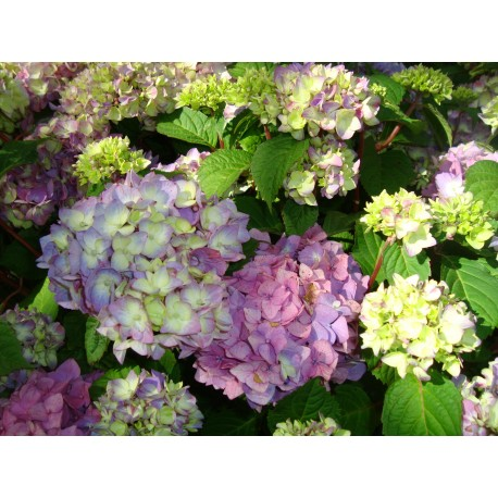 HORTENSIA 'BLOOMSTAR' 1-PACK