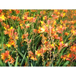 CROCOSMIA 'ORANGE PEKOE' 1-PACK (Växtrea!)