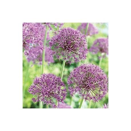 Skägglök 'Violet Beauty' (5st/förp) slut för året