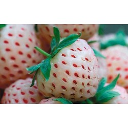 JORDGUBBE PINEBERRY 'WHITE DREAM' 1-PACK