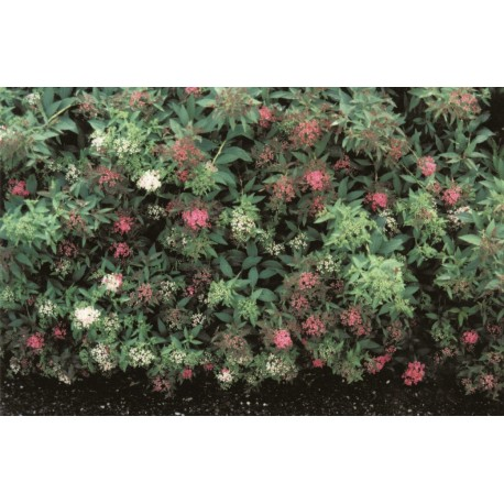 BROKSPIREA 10-PACK