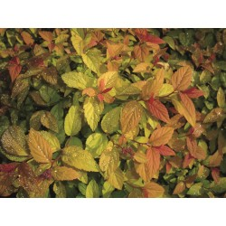 PRAKTSPIREA 'Firelight' 10-PACK