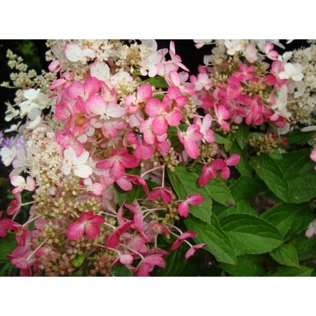 SYRENHORTENSIA 'PINKY WINKY' buske 1-PACK