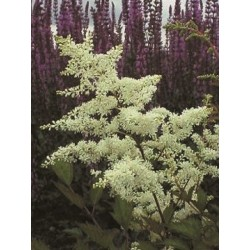 ASTILBE 'ROCK AND ROLL' 1-PACK