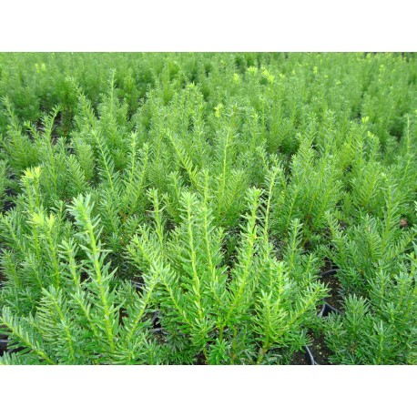 HYBRIDIDEGRAN 'Hillii' 30-40 cm häck/buske 1-PACK