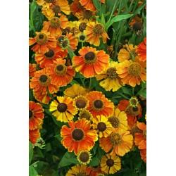 SOLBRUD 'SAHIN'S EARLY FLOWERER' 1-PACK