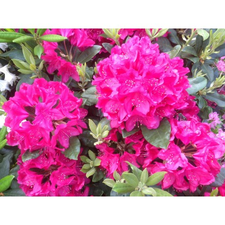 Rhododendron 'NOVA ZEMBLA' 1-PACK