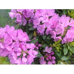 RHODODENDRON 'CATAWBIENSE' buske 1-PACK