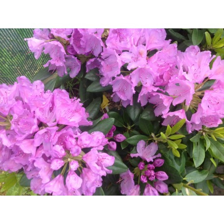 RHODODENDRON 'CATAWBIENSE' buske 1-P