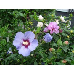 FRILANDS-HIBISKUS 1-PACK