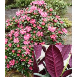 RHODODENDRON 'WINE AND ROSES' buske 1-PACK