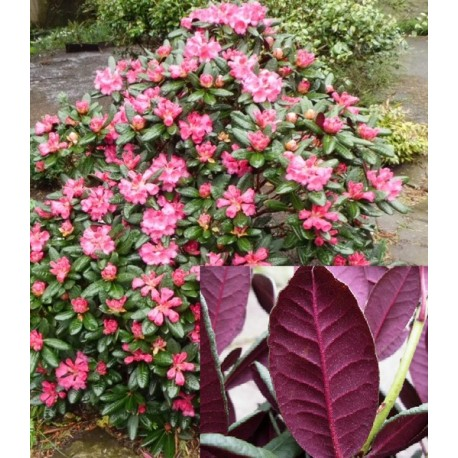 Rhododendron 'WINE AND ROSES' 1-PACK