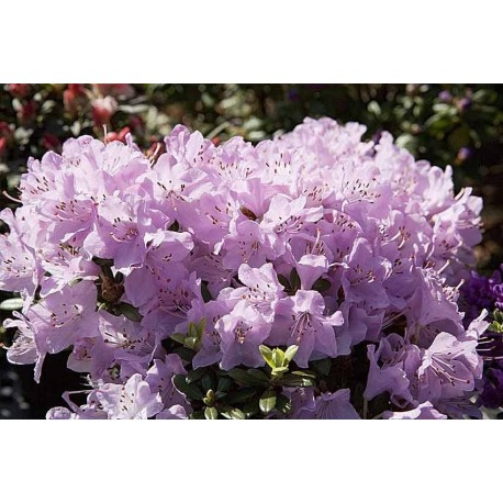 Rhododendron 'SNIPE' 1-PACK