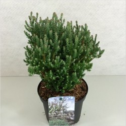 ÄDELCYPRESS 'BLUE ROCK' 1-PACK