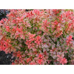 BERBERIS 'Admiration' 1-PACK