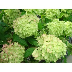 VIPPHORTENSIA 'LITTLE LIME' buske 1-PACK