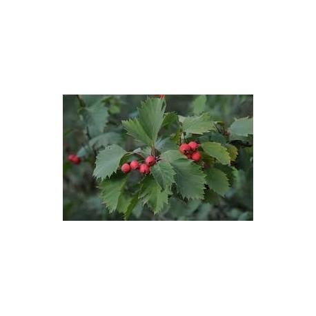 HÄCKHAGTORN E-planta häck 10-pack (Kommer ej in hösten -21)