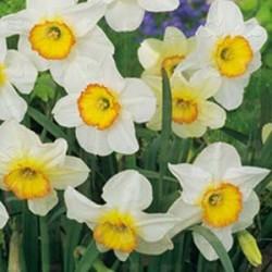 NARCISS 'Flower Record' 5 st/förp