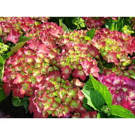 HORTENSIA 'RUBY TUESDAY' buske 1-PACK