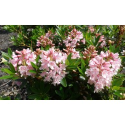 RHODODENDRON 'BLOOMBUX' buske 1-PACK