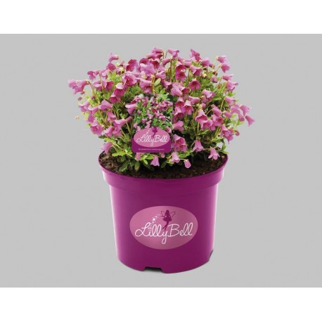 Rhododendron 'LILLY BELL' 1-PACK