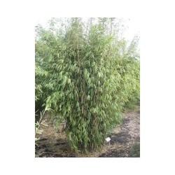 BAMBU 'OBELISK' buske 1-PACK (slut för våren)