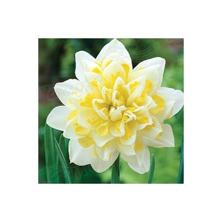 Narciss 'Irene Copeland' 4st/förp