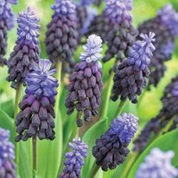 Bredbladig Pärlhyacint 10st/förp