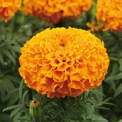 Tagetes 'Taishan Orange' frö 1-pack