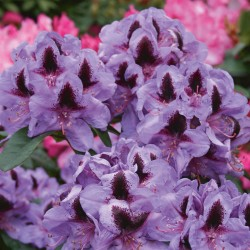 RHODODENDRON 'METALLICA' 1-PACK