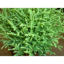 KLOT-THUJA 'MR BOWLING BALL' 1-PACK