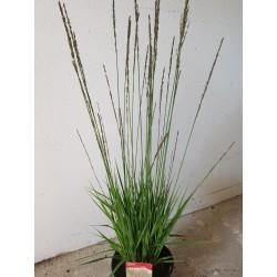 BLÅTÅTEL 'Moorhexe' gräs (Stora ex) 1-PACK
