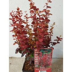 BERBERIS THUNB. Orange Rocket 1-pack