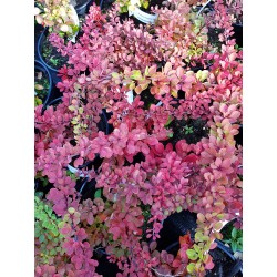 MATTBERBERIS 'Green Carpet' 1-pack