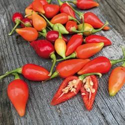 Chilipeppar 'Bicquinho' frö 1-pack