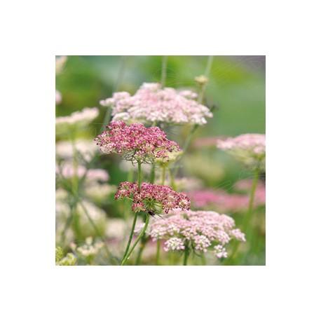 Blomstermorot 'Dara' frö 1-pack