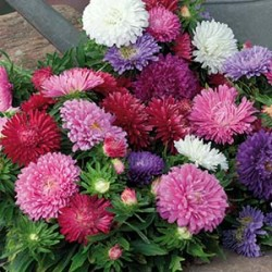 Aster Dwarf chrysanthemum mix frö 1-pack