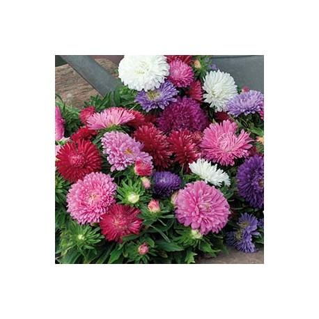 Aster Dwarf chrysanthemum mix frö 1-pack